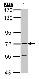 Western blot - Acetylcholinesterase antibody (ab97299)