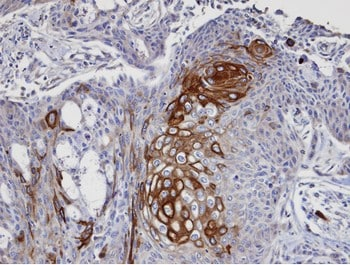 Immunohistochemistry (Formalin/PFA-fixed paraffin-embedded sections) - DAP5 antibody (ab97302)