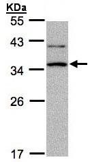Western blot - XRCC2 antibody (ab97316)