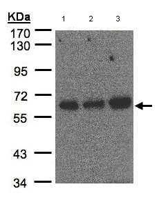 Western blot - PUF60 antibody (ab97335)