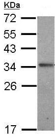 Western blot - IL24 antibody (ab97337)