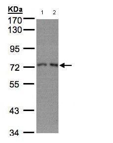 Western blot - RPA70 antibody (ab97338)