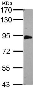Western blot - EML1 antibody (ab97342)