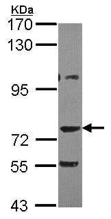 Western blot - AKAP10 antibody (ab97354)