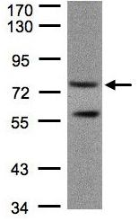 Western blot - PDE4C antibody (ab97356)