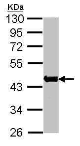 Western blot - skeletal muscle Actin antibody (ab97373)