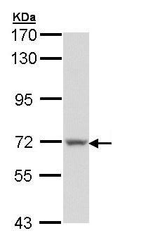 Western blot - Protein S antibody (ab97387)