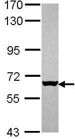 Western blot - Mus81 antibody (ab97391)