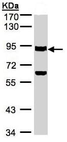 Western blot - Ku80 antibody (ab97433)