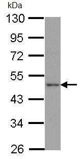 Western blot - APJ Receptor antibody (ab97452)
