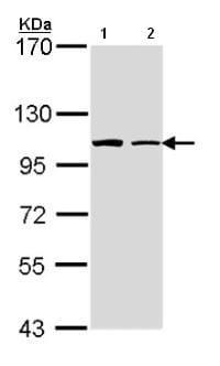 Western blot - FMNL1 antibody (ab97456)