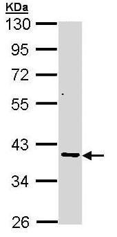 Western blot - AKR7A2 antibody (ab97458)