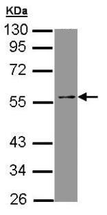Western blot - TEAD4 antibody (ab97460)