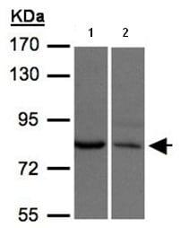 Western blot - XPR1 antibody (ab97483)