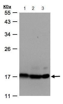 Western blot - ATP5D antibody (ab97491)