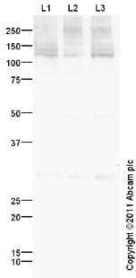 Western blot - KCC2 antibody (ab97502)
