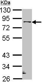 Western blot - GOLPH2 antibody (ab97506)