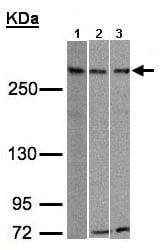 Western blot - RAD54 antibody (ab97508)