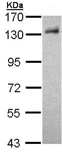 Western blot - DDB1 antibody (ab97522)