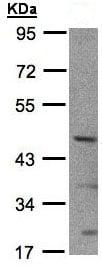 Western blot - SHARP2 antibody (ab97525)