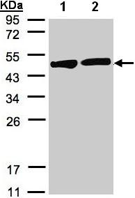 Western blot - Creatine Kinase BB antibody (ab97546)