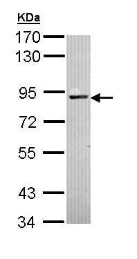 Western blot - PKC alpha antibody (ab97558)