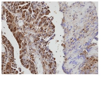 Immunohistochemistry (Formalin/PFA-fixed paraffin-embedded sections) - VAV1 antibody (ab97574)