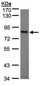 Western blot - RSK1 p90 antibody (ab97595)