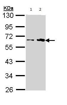 Western blot - Fukutin antibody (ab97637)