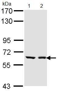 Western blot - UGT1A6 antibody (ab97646)