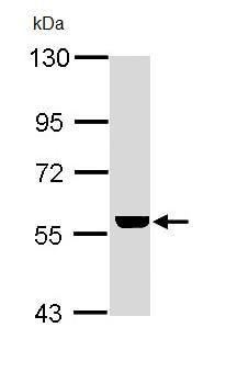 Western blot - ADCK4 antibody (ab97649)