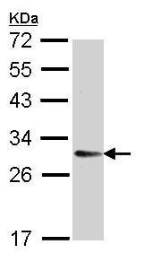 Western blot - TMED9 antibody (ab97651)