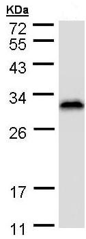Western blot - RanBP1 antibody (ab97659)