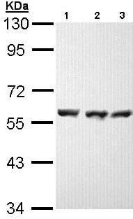 Western blot - Hsp70 antibody (ab97699)