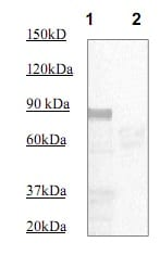 Western blot - Anti-STAT5 (phospho Y694) antibody (ab97734)