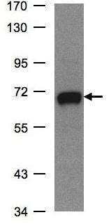 Western blot - GALNT2 antibody (ab97741)