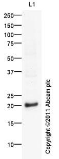 Western blot - GSC2 antibody (ab97747)