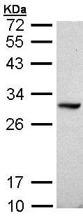 Western blot - DDAH1 antibody (ab97756)