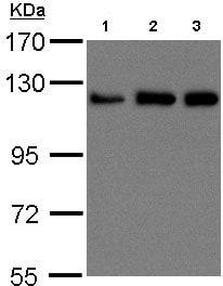 Western blot - Anti-KIF5B antibody (ab97762)