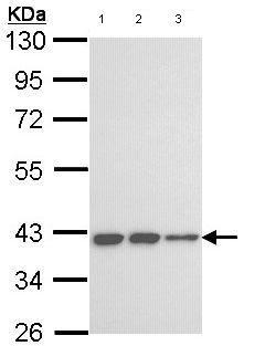 Western blot - LOC727787 antibody (ab97768)