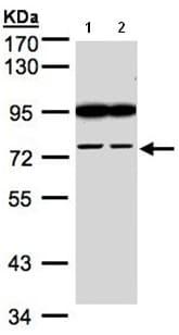 Western blot - FSD2 antibody (ab97786)