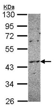 Western blot - NOXO1 antibody (ab97788)