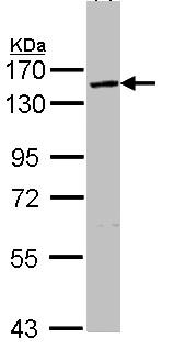 Western blot - VCIP 135 antibody (ab97812)