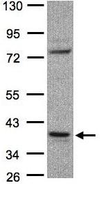 Western blot - CCDC68  antibody (ab97815)