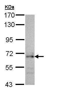 Western blot - CDC45L antibody (ab97832)