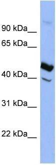 Western blot - Heparin Cofactor II antibody (ab97846)