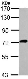 Western blot - XPNPEP2 antibody (ab97852)