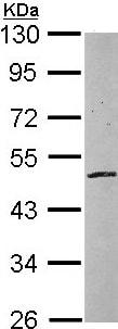 Western blot - ZNF140 antibody (ab97854)