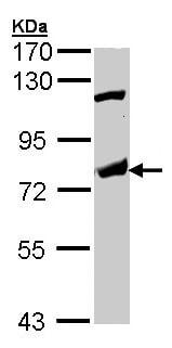 Western blot - p63 antibody (ab97866)