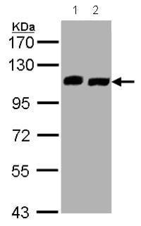 Western blot - C16orf62 antibody (ab97889)